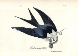 Drawn crow