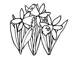 Daffodil clipart drawn