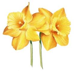 Daffodil clipart march flower