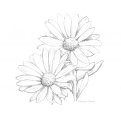 Daisy clipart sketched