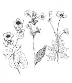 Buttercup clipart flower drawing