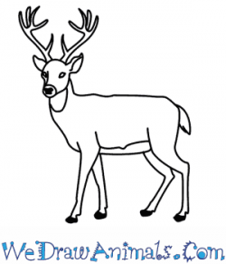Drawn deer