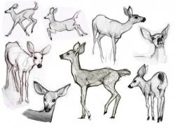 Drawn deer anatomy