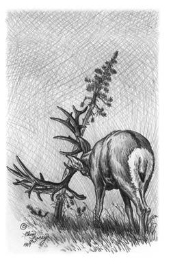 Drawn hunting big buck