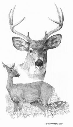 Drawn stag doe deer