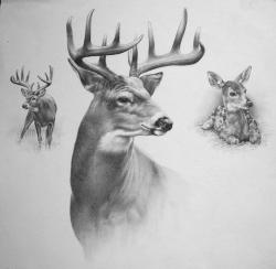 Drawn hunting deer antler