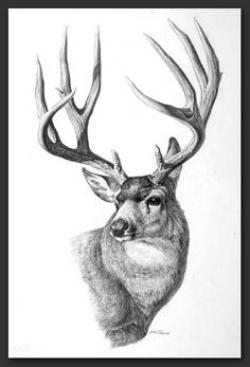 Drawn elk deer buck
