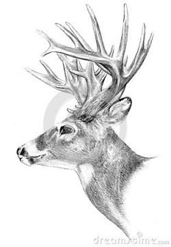 Drawn stag big buck