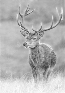 Drawn stag realistic