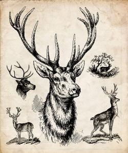 Drawn stag vintage