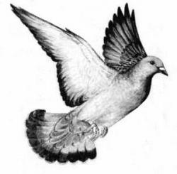 Drawn pigeon flying pigeon