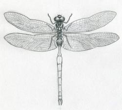 Drawn dragonfly