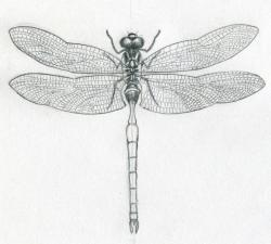 Drawn mosquito dragonfly wings