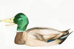 Drawn duck mallard duck