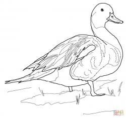 Drawn duckling pintail duck