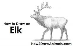 Drawn elk