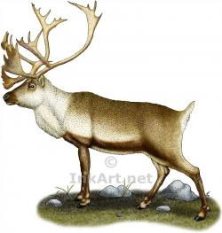 Drawn reindeer caribou