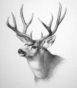 Drawn stag caribou