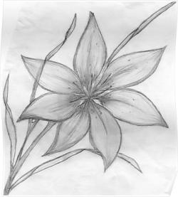 Drawn lily pencil sketch