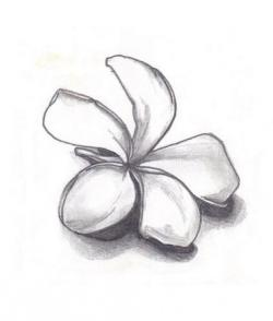 Drawn flower plumeria flower