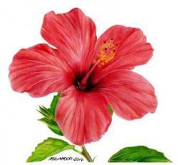 Drawn hibiscus red hibiscus flower