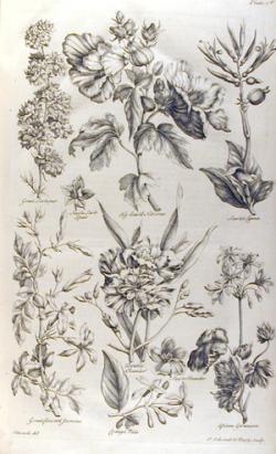 Drawn wildflower scientific