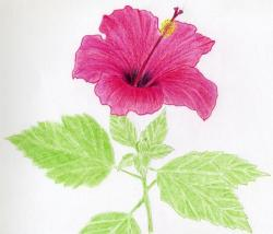 Drawn hibiscus color