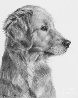 Drawn golden retriever pencil drawing