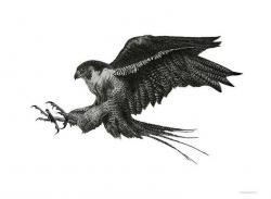 Prairie Falcon clipart black and white