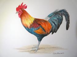 Drawn rooster colored pencil