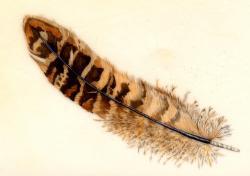 Drawn feather pheasant feather