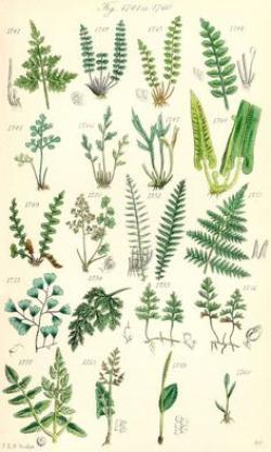 Drawn fern scientific plant
