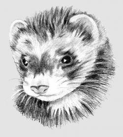 Drawn ferret really