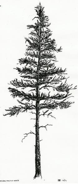 Drawn fir tree lodgepole pine