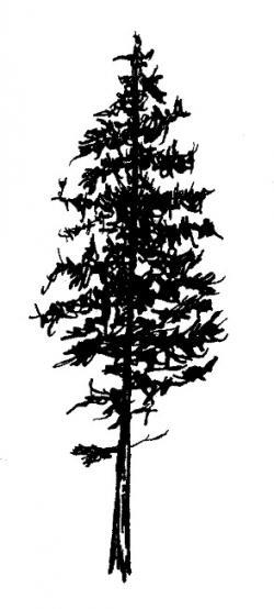 Drawn fir tree red pine