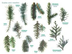 Drawn fir tree tree foliage