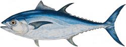 Drawn fishing bluefin tuna