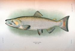 Drawn fish king salmon
