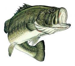 Grouper clipart largemouth bass