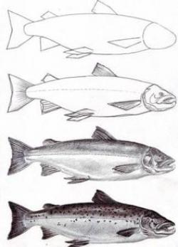 Drawn fish salmon fish