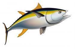 Drawn fishing yellowfin tuna