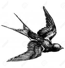 Drawn swallow detailed