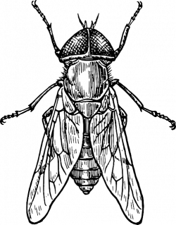 Drawn fly insect