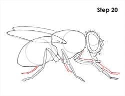 Drawn fly invertebrate