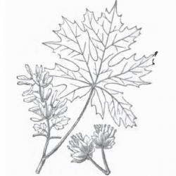 Drawn leaves big leaf maple