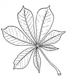 Drawn foliage chestnut leaf