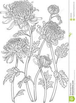 Drawn foliage chrysanthemum plant