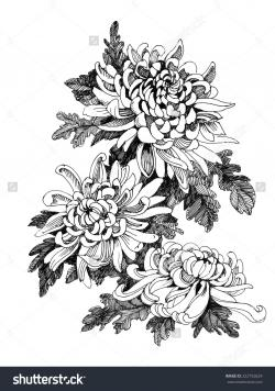 Chrysanthemum clipart botanical illustration