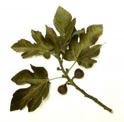 Drawn leaves fig leaf