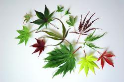 Drawn foliage japanese maple